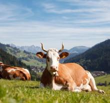 Kuh auf Weide in Alpen
