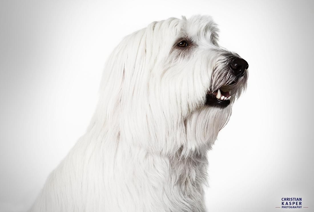 Hundportrait im Fotostudio